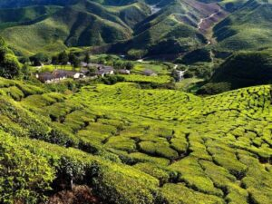 cameron highlands tour from penang will let you see this tea plantation