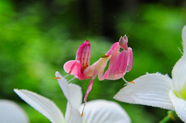 a pink praying mantis in the penang butterfly farm of entopia