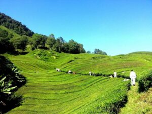 cameron highlands tea plantation - what you'll see in your 3d2n cameron tour from kuala lumpur