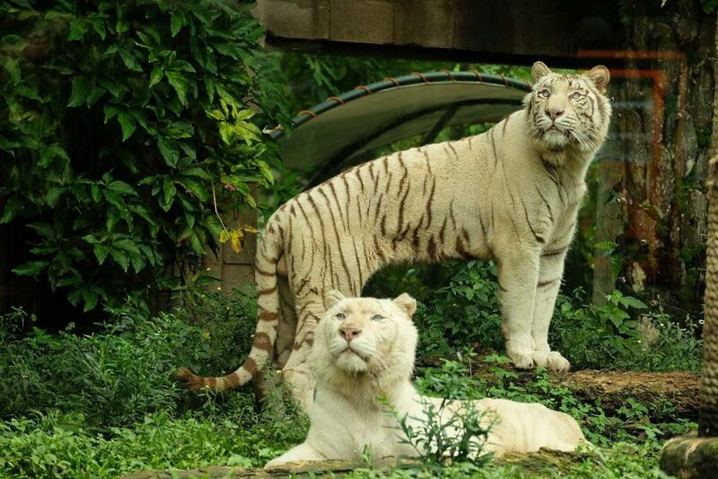 the white tigers are some of the animals you can see with your bali safari ticket