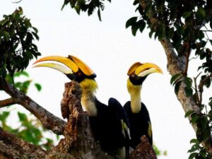 langkawi bird watching tour let you see tropical birds like this pair of enggang