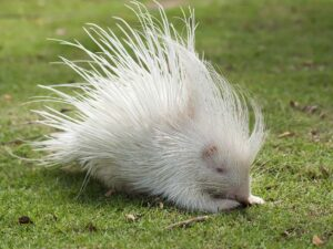 one of the animal that you may see in the chiang mai night safari is this white hedgehog