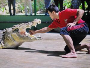 with the crocodile adventureland ticket you can get to see dare devil performances like this in this crocodile farm in langkawi