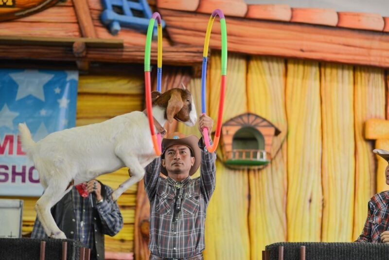 animal show like the goat show is a fun affair in the dream world theme park
