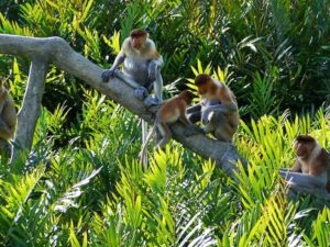 kawa-kawa river cruise lets you see the proboscis monkey that is native only to Borneo