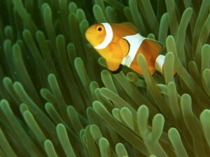 mantanani snorkeling tour or trip will let you see marine lives like this nemo fish