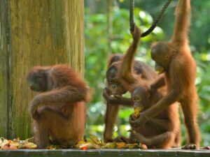 in the orang utan kayak tour you'll get to see semi wild orang utan of semenggoh