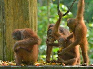 in the orang utan kayak tour you'll get to see semi wild orang utan of semenggoh