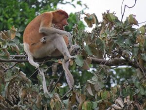 the proboscis monkeys in the bako national park sarawak is usually spotted around the riverbanks area
