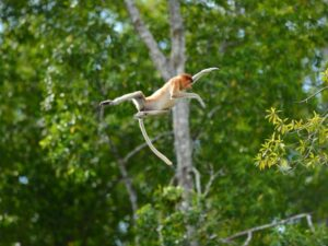proboscis monkey are endemic to borneo and you may spot them during your weston cruise tour in sabah malaysia