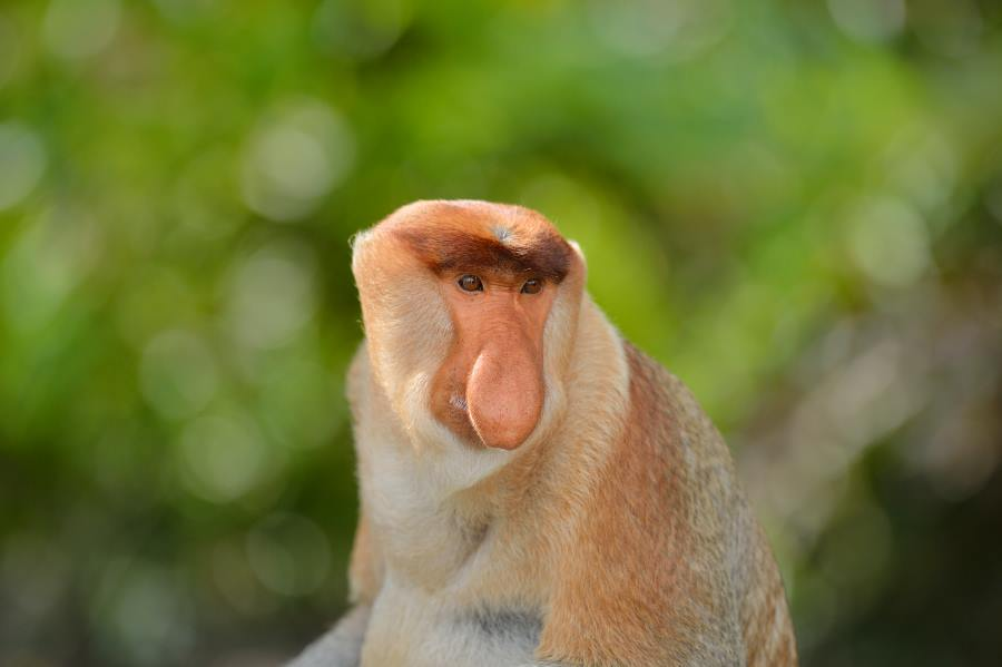 proboscis monkey are among the animals you may see during your weston river cruise or tour