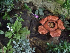 rafflesia flower cameron highlands tour