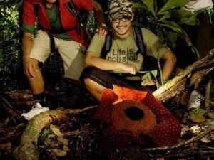 rafflesia, aborigines and mossy forest tour lets you find the rafflesia in the jungle of cameron highlands
