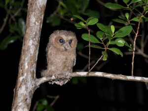 in this rainforest evening tour langkawi you'll see birds like this owl and other nocturnal tropical creatures