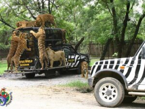 with your discount safari world bangkok ticket you can get into a jeep and be surrounded by tigers like this