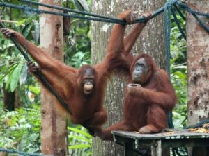the orang utans in the semenggoh orang utan rehabilitation center