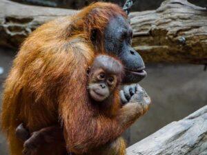 orang utan in the sepilok rehab center