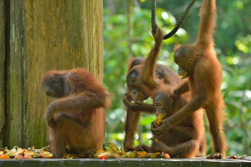 the semi wild orang utan comes back to sepilok for free food that they can get from the staffs here