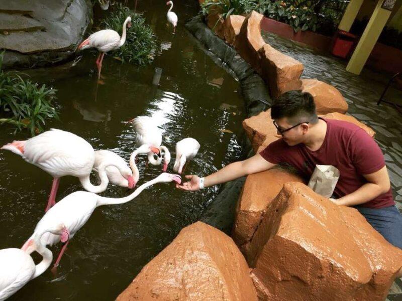 feeding pelicans in the langkawi wildlife park