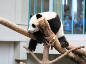 zoo negara panda